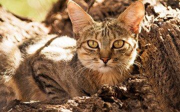 морда, взгляд, дикая кошка, лесная кошка