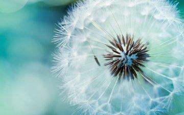цветок, одуванчик, пух, стебель, семена одуванчика