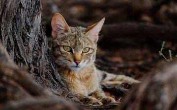природа, кошка, дикая кошка