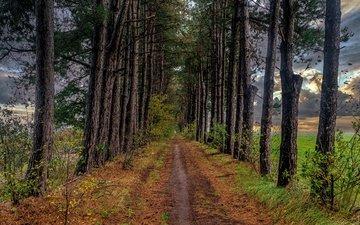 дорога, деревья, дорожка, осень, тропинка, сосна