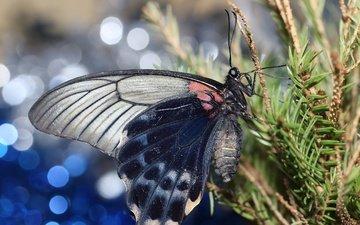 хвоя, насекомое, ветки, бабочка, крылья, боке
