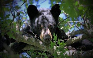 взгляд, медведь, мордашка, на дереве, медвежонок, барибал, чёрный медведь