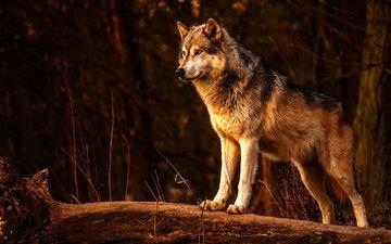 хищник, животное, волк, живая природа