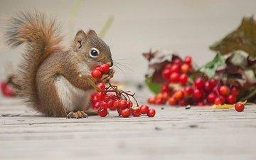 ягоды, животное, белка, калина, грызун
