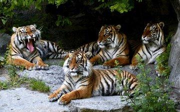тигр, скалы, камни, растения, листья, ветки, взгляд, темный фон, отдых, пещера, язык, лежат, пасть, квартет, морды, тигры