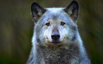 морда, хищник, животное, волк