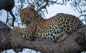 леопард, дикая кошка, на дереве