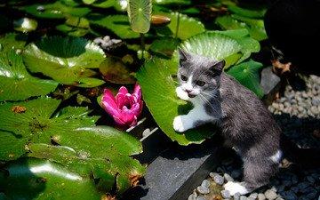 листья, цветок, кошка, сад, водяная лилия, котейка