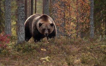 деревья, лес, осень, медведь, топтыгин