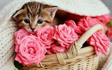 цветы, кот, розы, кошка, котенок, розовые, малыш, корзинка