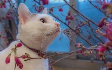 цветы, кот, мордочка, ветки, кошка, взгляд, белый, ошейник