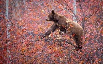 дерево, ветки, осень, медведь, ягоды, на дереве