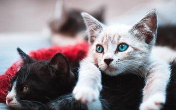 черный, белый, котята, лежат