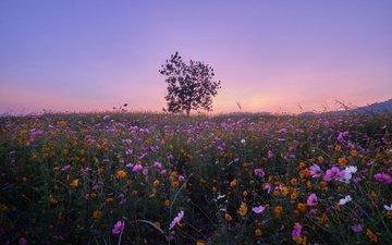 цветы, дерево, луг, тайланд, космея