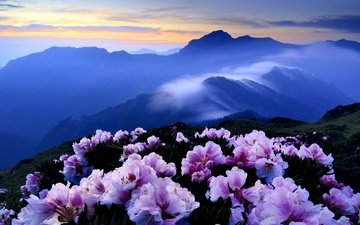 цветы, горы, холмы, туман, кусты, розовые, синева, азалия, рододендроны
