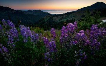 цветы, горы, лес, лето, луг, даль, люпины