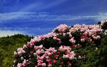 цветы, холмы, синева, азалия, рододендроны