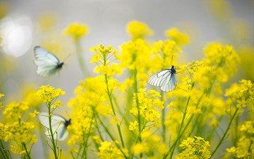 цветы, насекомые, бабочки, желтые