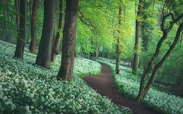 деревья, лес, тропинка, черемша