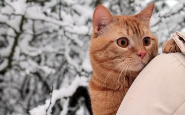 деревья, снег, природа, зима, парк, портрет, кот, ветки, кошка, взгляд, прогулка, рыжий, плечо, куртка, боке, хозяйка