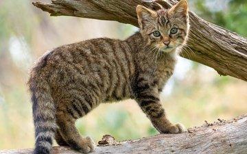 дерево, кот, ветки, котенок, детеныш, дикий кот, лесной кот