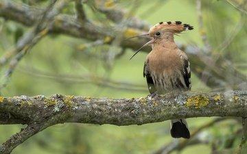 дерево, птица, удод