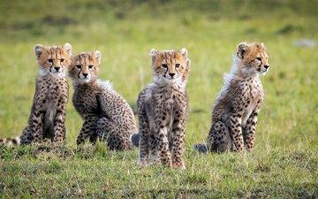 дикие кошки, гепарды, детеныши