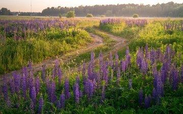 дорога, цветы, лес, поле, лето, сиреневые, люпины
