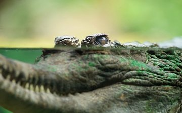 глаз, крокодил