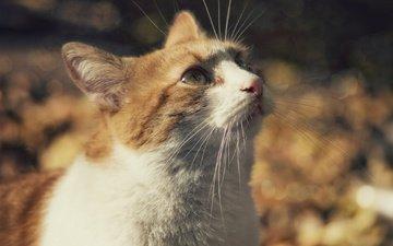 глаза, кот, мордочка, усы, кошка, взгляд, рыжий