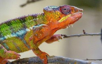 хамелеон, рептилия, яркий окрас
