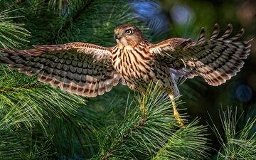 хвоя, ветки, птица, сокол, боке, размах крыльев
