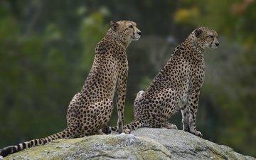 камень, пара, два, гепард, сидят, гепарды