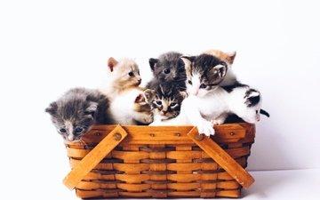 корзина, белый фон, котята