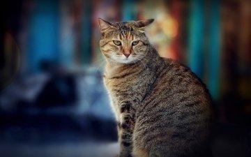 кот, боке
