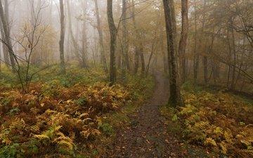 деревья, лес, туман, осень, тропинка, папоротник