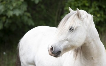 лошадь, взгляд, конь, белая