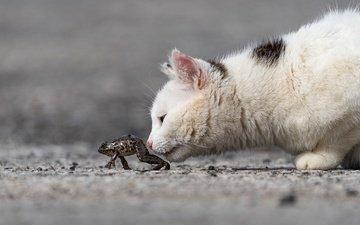 морда, кот, кошка, котенок, лягушка, профиль, интерес