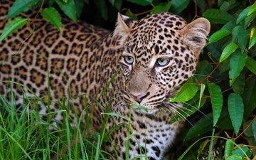 морда, листья, портрет, взгляд, леопард