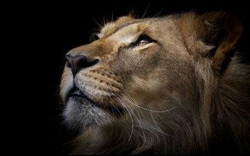 морда, портрет, взгляд, черный фон, лев