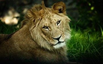 морда, портрет, взгляд, темный фон, лев