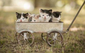 морда, природа, поза, взгляд, котенок, кошки, тележка, малыши, котята, боке, пятнистые