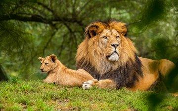 морда, природа, зелень, взгляд, лев, малыш, львёнок, детеныш, боке