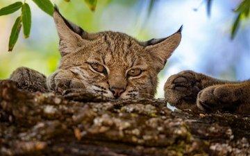 морда, рысь, лапы, взгляд, дикая кошка