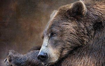 морда, текстура, портрет, лапы, взгляд, медведь, лежит, бурый