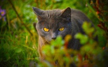 морда, трава, природа, зелень, поза, кот, лето, кошка, взгляд, серый, британский, боке, желтые глаза