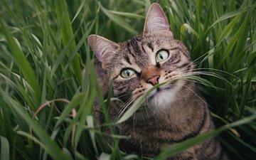 морда, трава, зелень, поза, портрет, кот, лето, кошка, взгляд