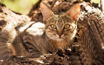взгляд, дикая кошка, лесная кошка
