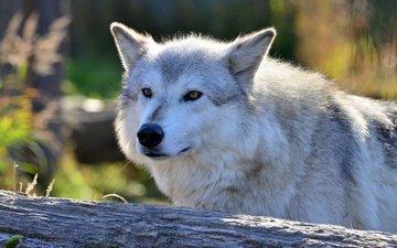 морда, взгляд, хищник, волк