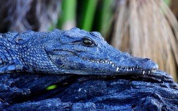 морда, взгляд, крокодил, бревно, рептилия